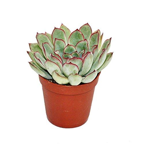 Echeveria pulidonis - kleine Pflanze im 5,5cm Topf
