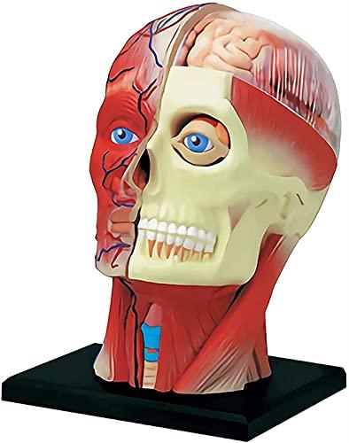 Modelo anatômico da cabeça humana 4D Modelo anatômico da artéria cerebral em PVC com 14 partes, músculos da cabeça humana, nervos, modelo de órgão, quebra-cabeça, brinquedos de montagem