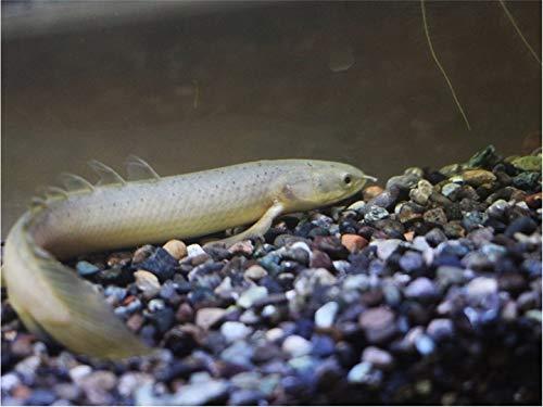 【熱帯魚・古代魚・大型魚】 ポリプテルス・セネガルス ■サイズ:8cm± 東南ブリード (1匹)