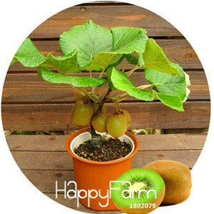 Big Promotion! Kiwi Seeds plantes en pot Mini Arbre riches arbres fruitiers Belle Bonsai Kiwi Seed, 100 graines / Pack, # IT5O18