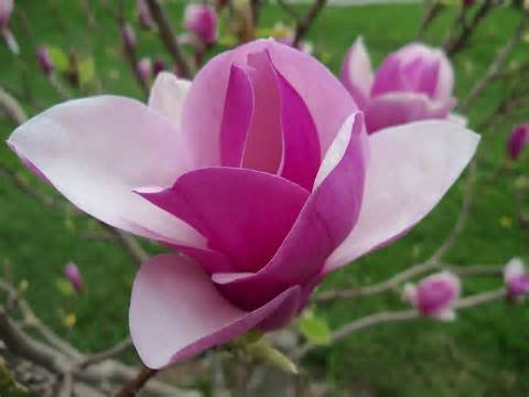 20 / sac rares graines de fleurs magnifiques Graines Yulan fleurs magnolia colorés Graines maison et jardin propre bonsaï d'air