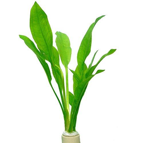 Tropica Aquariumpflanze Echinodorus bleheri im Bund Nr.071 BDT Wasserpflanzen Aquarium Aquariumpflanzen