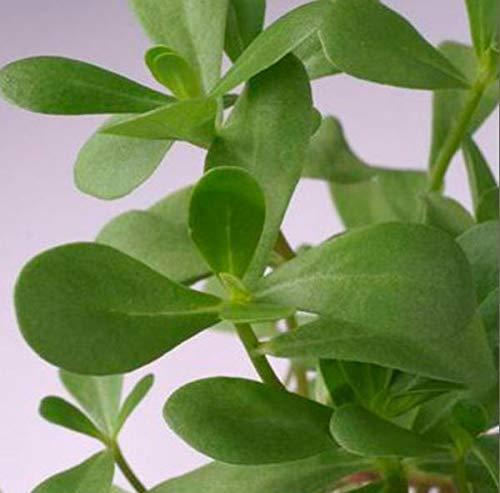 Portal Cool Suffolk Herbes - Image Paquet - Pourpier Vert - 750 graines