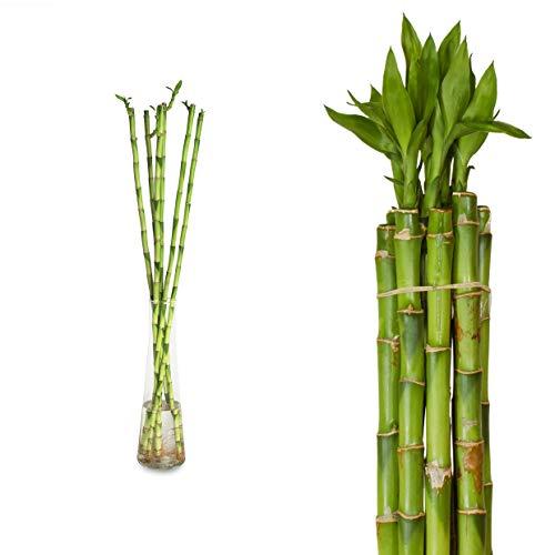 10x Lucky Bamboo Glücksbambus - 90cm GERADE - Straight in verschiedenen Groessen - Zimmerbambus Gluecksbambus Zimmer Deko Bam Boo dracaena sanderiana Zimmerpflanze