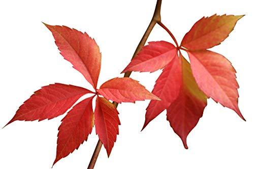 Selbstkletternde Jungfernrebe -Parthenocissus quinquefolia- 15 Samen *Wilder Wein*