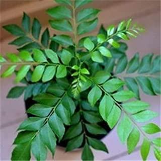 Backyard 40 Pcs Curry Leaf Seeds Organic Bonsai Tree Seeds Pot Seeds for Indoor Outdoor Garden