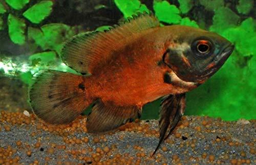 【熱帯魚・南米シクリッド】 レッドオスカー ■サイズ:4cm± ※東南ファーム (2匹)
