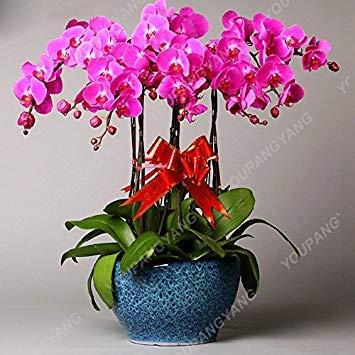 VISTARIC 1: Double Dahlia Seed Mini Mary Fleurs Graines Bonsai Plante en pot bricolage jardin odorant fleur, croissance naturelle de haute qualité 50 Pcs 1