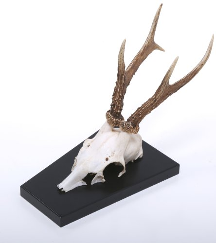 MDF-Design Rehgehörn – Rehgeweih – Natur – auf Hochglanz (schwarz) Trophäenschild – Trophäenbrett montiert