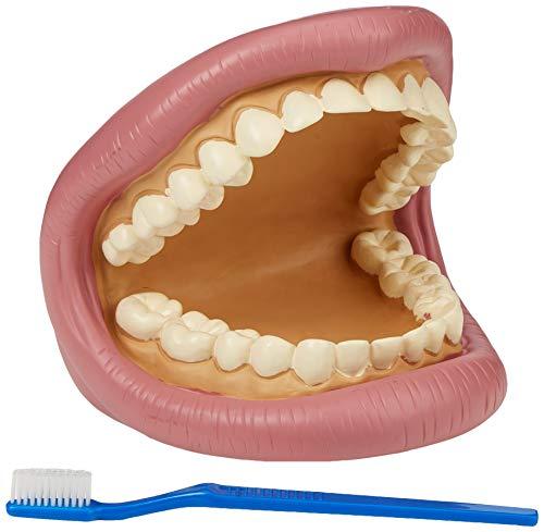 TickiT 03083 Maqueta de dientes gigantes para demostración dental