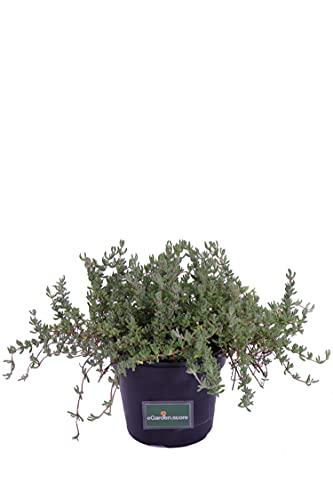 pianta di Barba di Giove pianta grassa pendente di Drosanthemum Hispidum pianta vera da balcone da esterno venduta da eGarden.store (vaso 14cm)