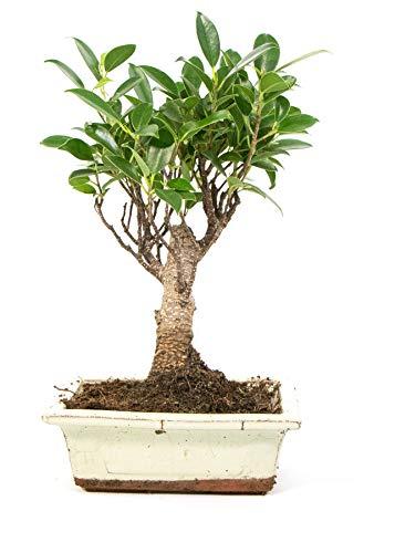 Bonsai Ficus benjamina, S-Form, echter Zimmerbonsai im 8 x 15cm Keramiktopf, Birkenfeige, Höhe ca. 30cm