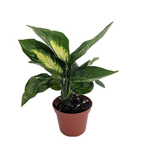 Tropic Marianne Dieffenbachia Plant - Exotic & Easy to Grow - 2.5