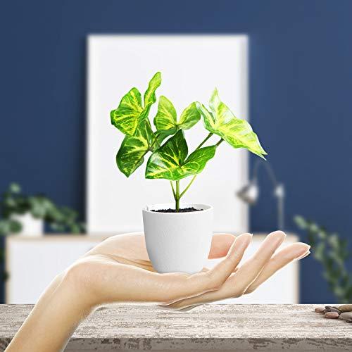 Kazeila Plantas