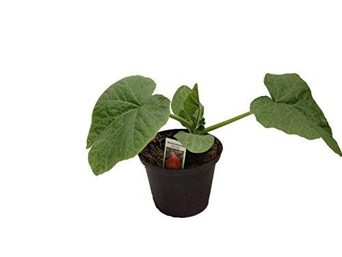 Hokkaidokürbis Pflanze, frische Hokkaido Kürbis Pflanze aus eigener Gärtnerei!