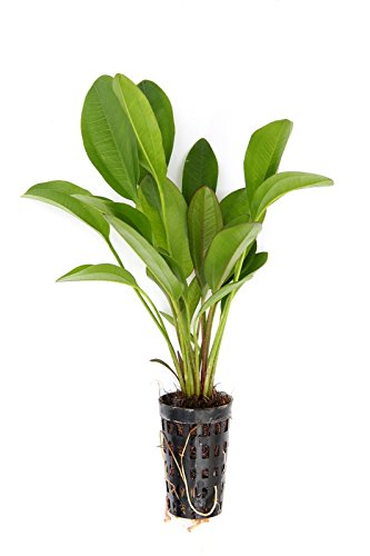 Dekoimtrend Echinodorus Dschungelstar Nr. 2 ´Kleiner BÄR´ Wasserpflanze Aquarium Aquariumpflanze …