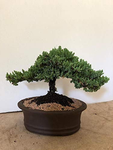 Eve's Japanese Juniper Bonsai Tree, 12 Years Old Japanese Juniper, Planted in 12 Inch Ceramic Container, Outdoor Bonsai ! ! ! Cannot Ship to CA California ! ! !