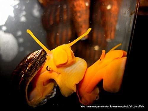 Family of (6) Assorted Rabbit Snails 1-2' Freshwater Live Snail for Fish Tank Aquarium Tylomelania