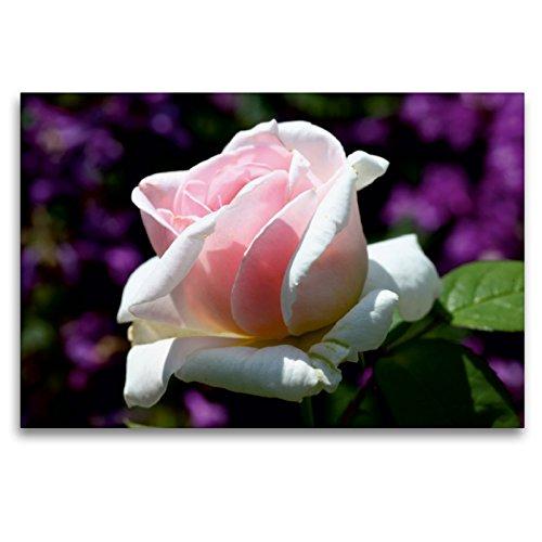 Premium Textil-Leinwand 120 x 80 cm Quer-Format Englische Rose im Garten | Wandbild, HD-Bild auf Keilrahmen, Fertigbild auf hochwertigem Vlies, Leinwanddruck von Martina Cross