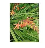 Crocosmia Harlequin Montbretia Plant Red Yellow Perennial Koi Pond Bulb (10)