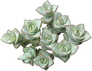 Ivory Towers Crassula Conjuncta Crassula Silvery-White Triangular Leaves Sting of Buttons Vintage Blossom - 2'' Plants