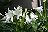 White Crinum Lily, Summer Blooming Perennial, White Trumpet Flowers, 1 Blooming Size Bulb