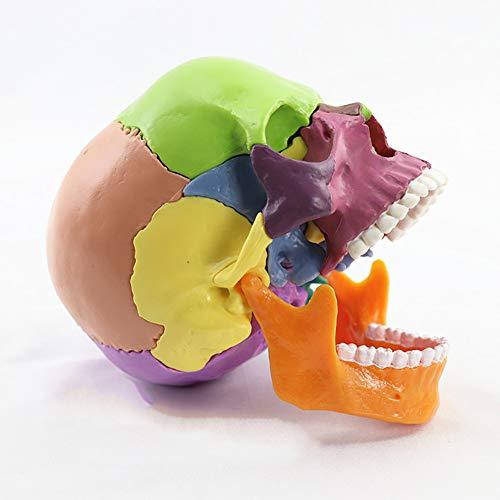 XIEJI Schädel Modell Menschliche Anatomie Farbe 15 teilig, Realistisches und genaues Modell Flexibles und abnehmbares Modell
