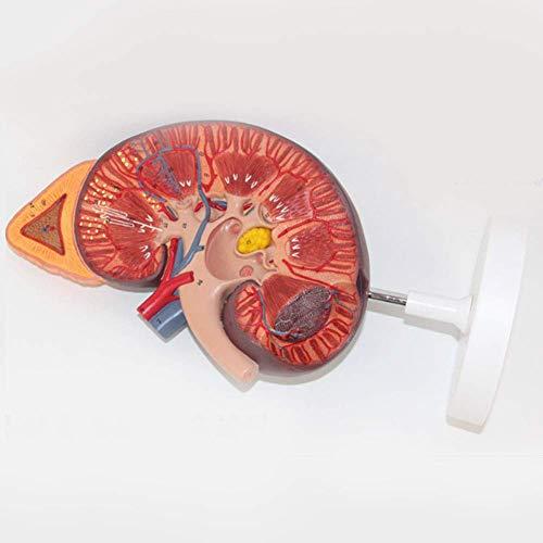 XHLLX 3 Veces Modelo anatómico órgano Humano, Modelo anatómico riñón Humano, Modelo de glándula suprarrenal para educación médica