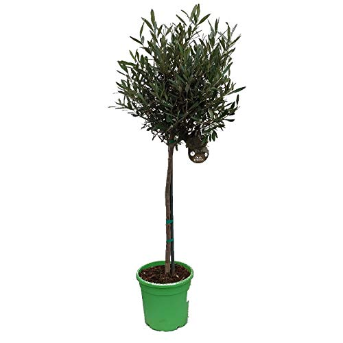 Olivenbaum, kräftiges Stämmchen, 100-120cm im Topf, Olea europea
