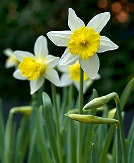 Portal Cool Paquete de semillas: Otoño Bulbos narcisos Topolino - Pack de 10 Narciso y narciso Bulbos