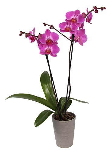 Color Orchids Live Blooming Double Stem Orchid Plant in Ceramic Pot, 20-24' Tall, Purple Blooms