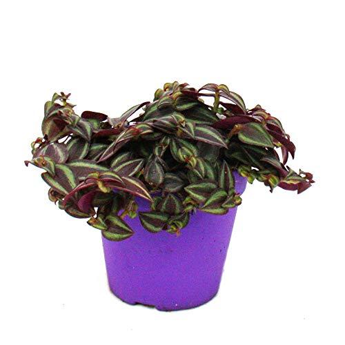 Exotenherz - Tradescantia Purple Passion - Dreimasterblume mit lila Blättern - 12cm Topf