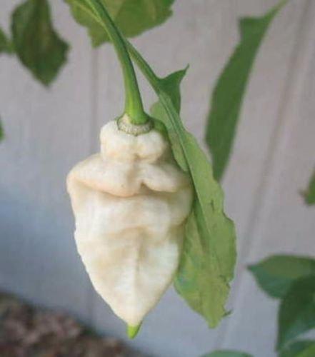 25 Mano escogida blancas, semillas raras Naga Jolokia de cultivo ecológico