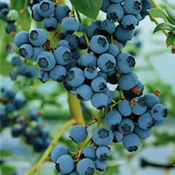Blueberry Bluecrop Fruit Bush Reliable and Heavy cropping mid Season Variety with Large Fruit Ideal for Patio and containers Grown in 9cm Square Pot