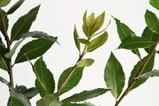 Bay Leaf (Bay Laurel) Tree- 2 Year Old 4-5 Ft Tall - Bob Wells Nursery