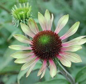 Sonnenhut Green Envy - Echinacea cultorum