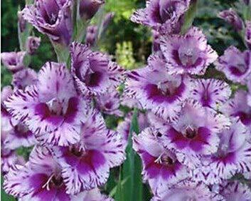 Generic Fresh 10pcs Gladiolus Blumensamen zum Pflanzen von violettem Weiß