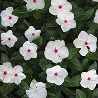 Outsidepride Periwinkle Bright Eyes - 2000 Seeds