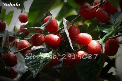 Nouveaux 2017 Fruit Lait de chèvre Graines Tropical Noir bio Brin Arbre de lait de chèvre Bonsai Fruit, Grand jardin Plantes vivaces 100 Pcs 4