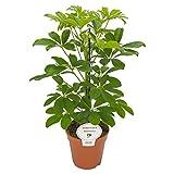 Schefflera arboricola Nora 45 cm Strahlenaralie Kleinblättrige Schefflera Kleine Strahlenaralie Zimmerpflanze