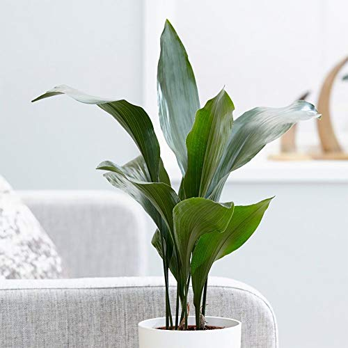 """American Plant Exchange Cast Iron Plant Pet Friendly Live, 6"""" Pot, Graceful Indoor Air Purifier"""