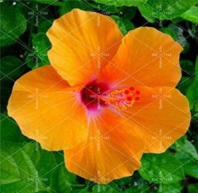 Ferry 100 Pcs bonsaï géant Chinois Fleur d'hibiscus Bricolage Hibiscus Plante Flores Cadeau pour Vos Enfants Easy Grow Jardin Décoration: 11