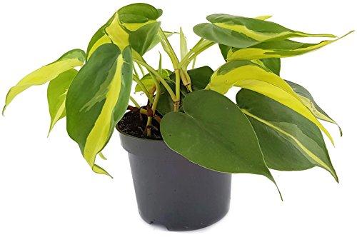 Limonengrüner Baumfreund Philodendron Scandens BRAZIL - kletternde, oder hängende Zimmerpflanze - leicht zu pflegen