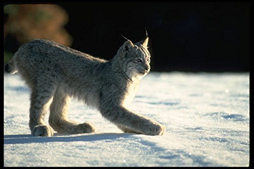 326084 Canada Lynx On Snow Backlit A4 Photo Poster Print 10x8