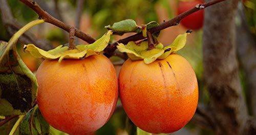 Persimmon japonais, Diospyros kaki, Graines Arbre (comestibles, couleur Showy, automne) (5)