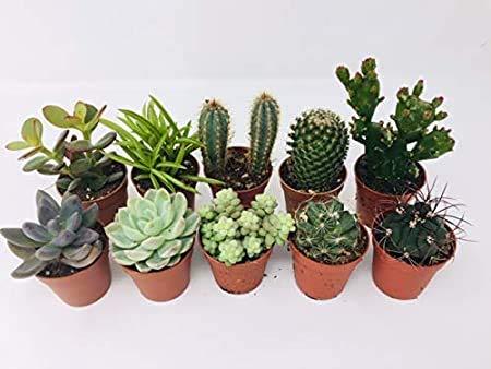 10 Mixed Indoor Plants - 5 Succulents - 5 Cactus Plants in 5.5cm Pots -...