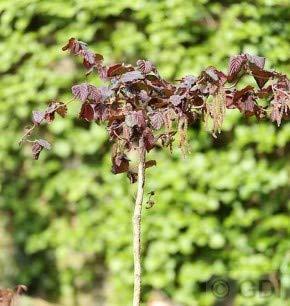 Hochstamm Rotblättrige Korkenzieher Hasel 60-80cm - Corylus avellana