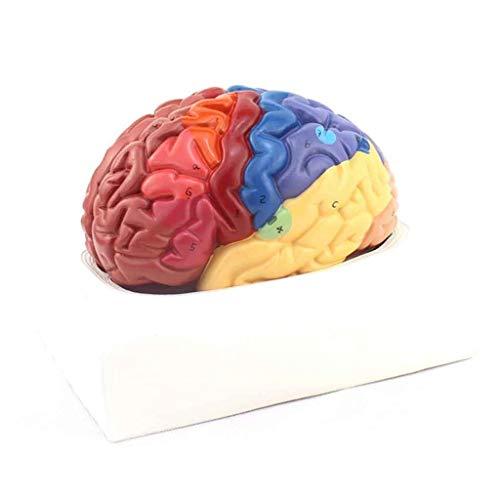 Momomomo Human Brain Modell Struktur Anatomie Lernen und Demonstrieren Modelle Medizinische Lehrmittel Spielzeug