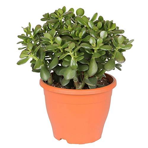 Pflanzen Kölle Geldbaum, Crassula ovata, Topf 23 cm, Höhe ca. 45 cm
