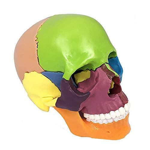WJER Schädel Modell Menschliche Anatomie Farbpartitionskennung Universitätsarzt Flexibles und abnehmbares Modell